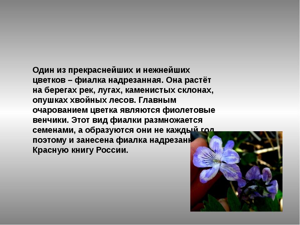 Один из прекраснейших и нежнейших цветков –фиалка надрезанная. Она растёт на...