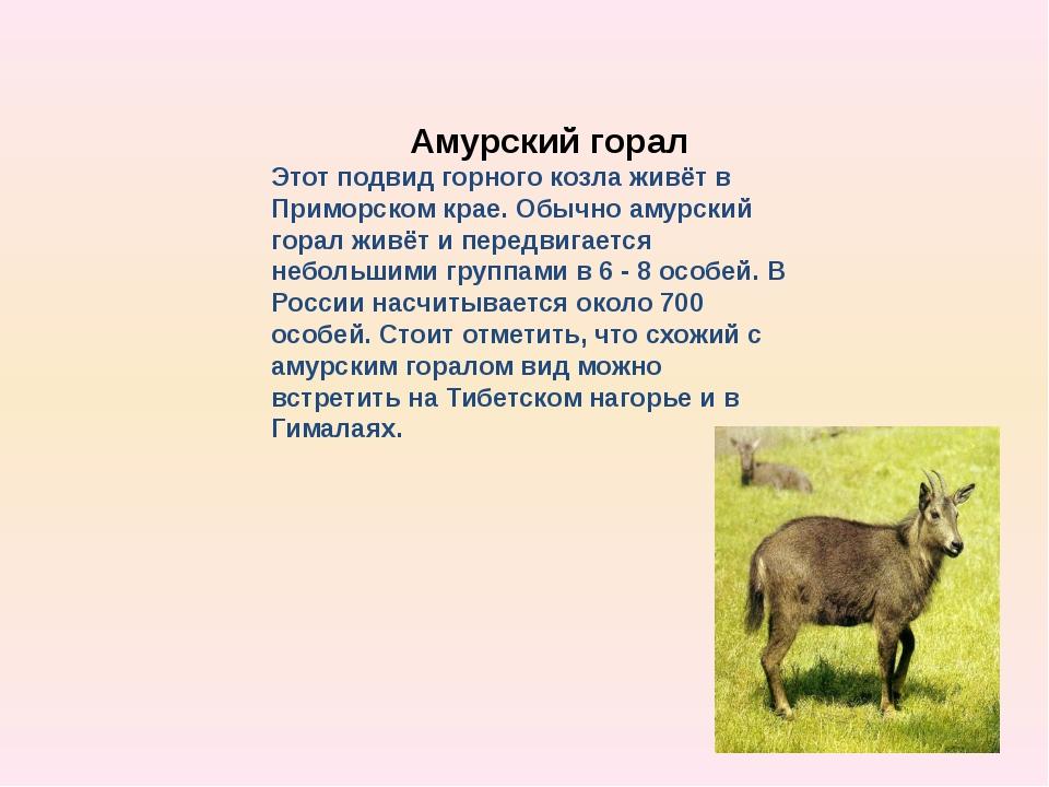 Амурский горал Этот подвид горного козла живёт в Приморском крае. Обычно аму...