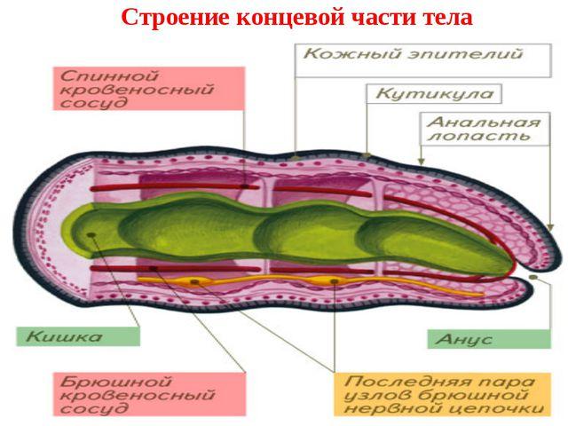 Строение концевой части тела
