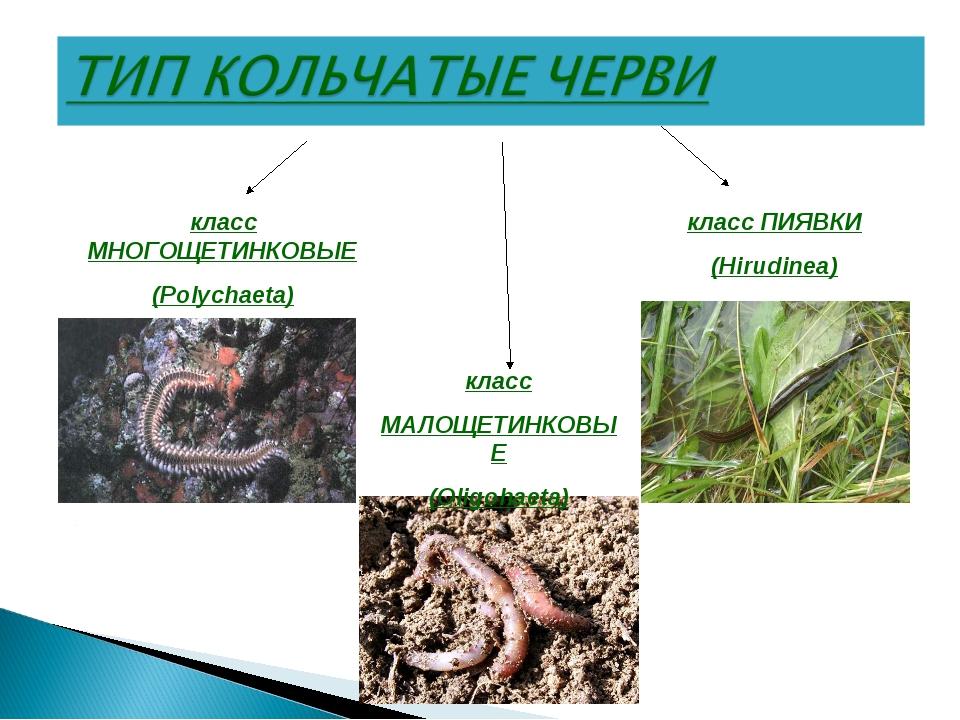 класс МНОГОЩЕТИНКОВЫЕ (Polychaeta) класс ПИЯВКИ (Hirudinea) класс МАЛОЩЕТИНКО...