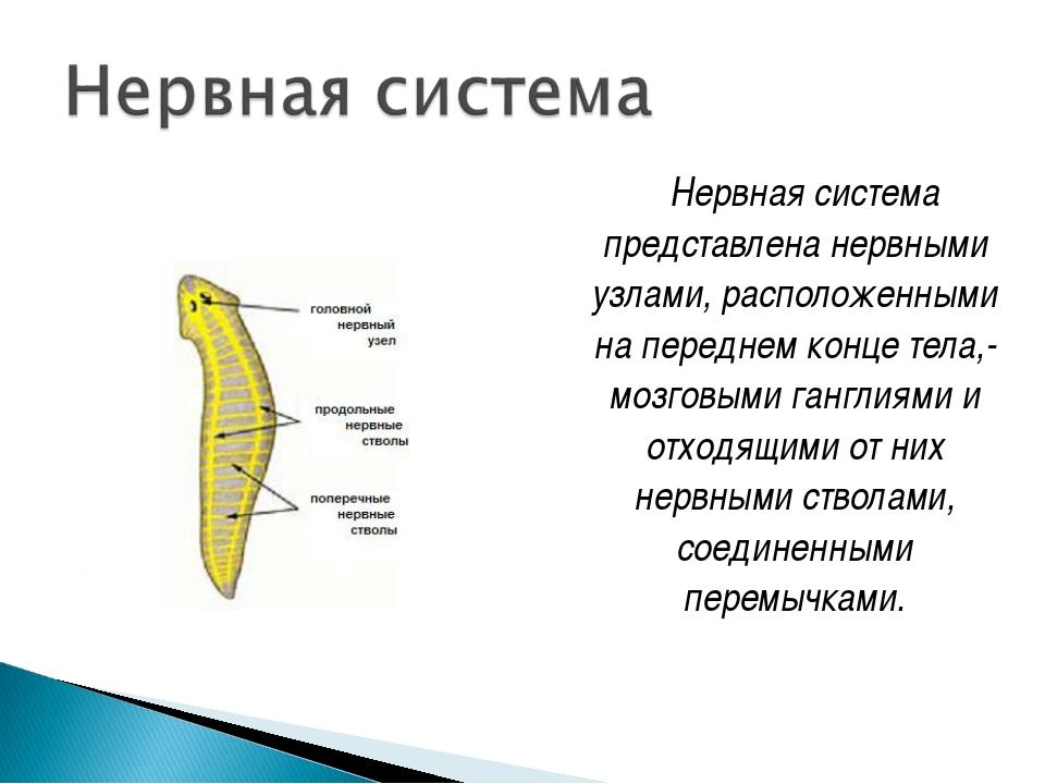 Нервная система представлена нервными узлами, расположенными на переднем кон...