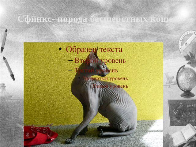 Сфинкс- порода бесшерстных кошек