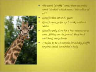 """The word """"giraffe"""" comes from an arabic word 'zirafah' which means """"the tall"""