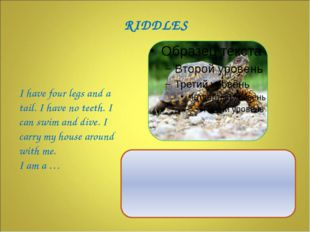 I have four legs and a tail. I have no teeth. I can swim and dive. I carry m