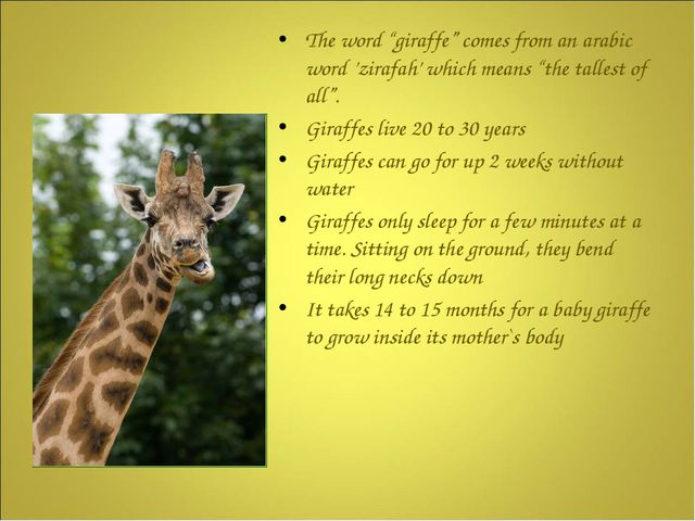 """The word """"giraffe"""" comes from an arabic word 'zirafah' which means """"the tall..."""