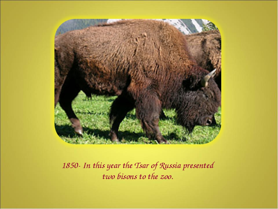 1850- In this year the Tsar of Russia presented two bisons to the zoo.