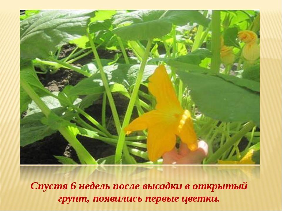 Спустя 6 недель после высадки в открытый грунт, появились первые цветки.