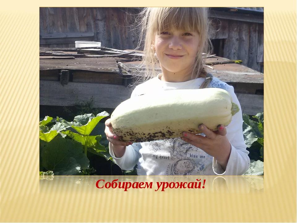 Собираем урожай!