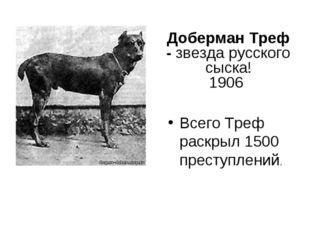 Доберман Треф - звезда русского сыска! 1906 Всего Треф раскрыл 1500 преступле
