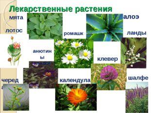 Лекарственные растения мята лотос алоэ ландыш ромашка анютины глазки клевер к