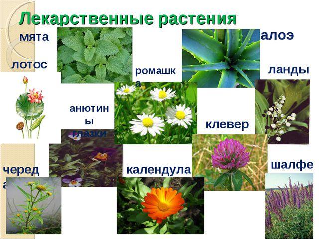 Лекарственные растения мята лотос алоэ ландыш ромашка анютины глазки клевер к...