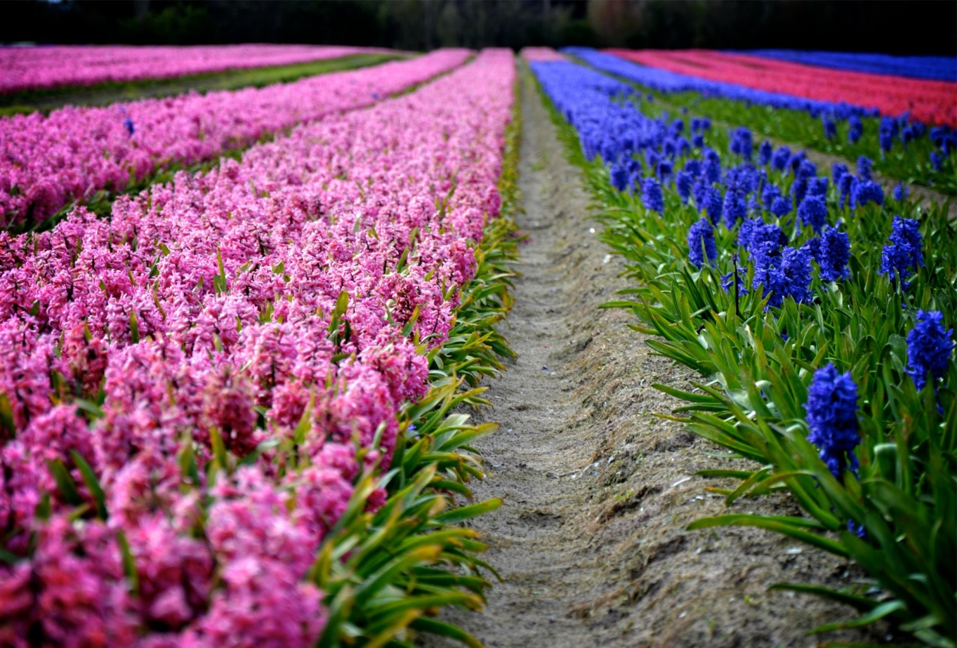 http://static.flora2000.ru/images/content/giacinty-vesna-cvety.jpg