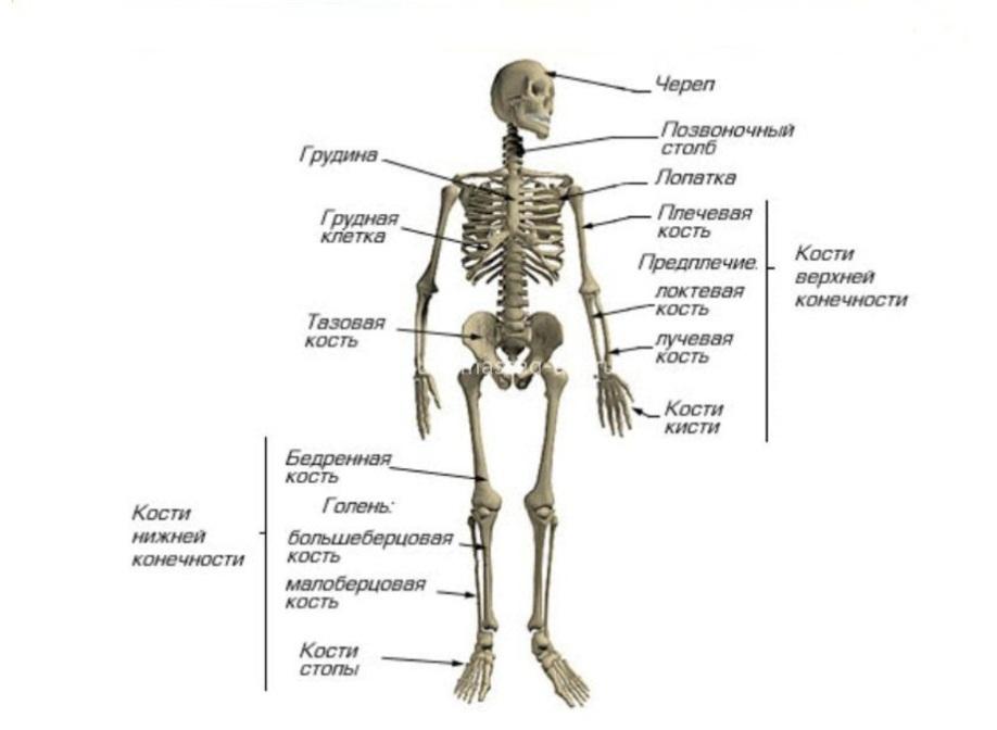 голова лежит костная система с картинками могу причислить