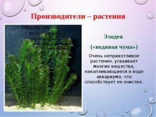 Производители – растения Элодея («водяная чума») Очень неприхотливое растение