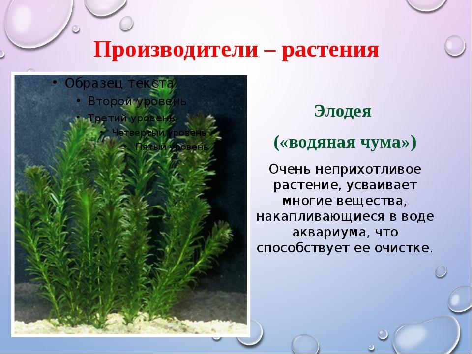 Производители – растения Элодея («водяная чума») Очень неприхотливое растение...
