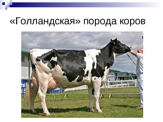 «Голландская» порода коров