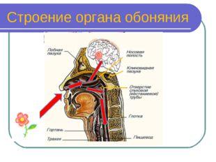 Строение органа обоняния