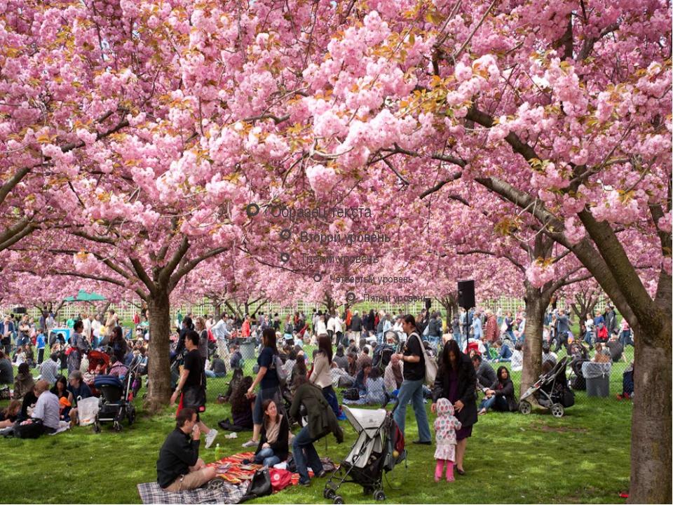cherry blossom festival - 960×720