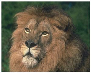 Лучик света - энциклопедия для детей: животные. Лев