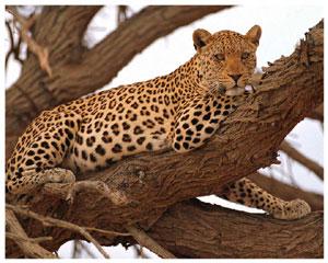 Лучик света - энциклопедия для детей: животные. Леопард