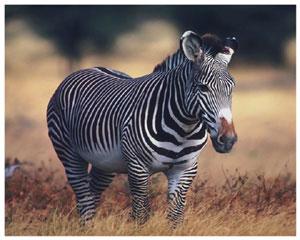 Лучик света - энциклопедия для детей: копытные животные. Зебра