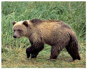 Лучик света - энциклопедия для детей: хищные животные. Бурый медведь