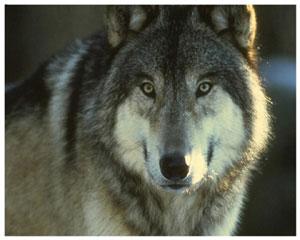 Лучик света - энциклопедия для детей: хищные животные. Волк