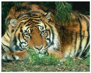 Лучик света - энциклопедия для детей: животные. Тигр