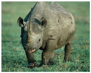 Лучик света - энциклопедия для детей: копытные животные. Носорог