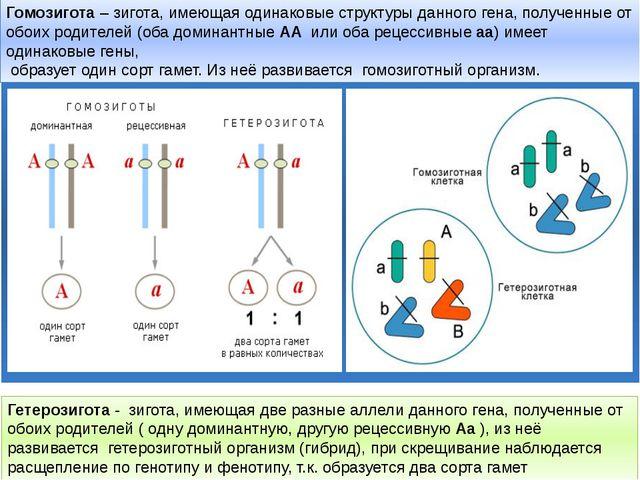 Гомозигота– зигота, имеющая одинаковые структуры данного гена, полученные о...