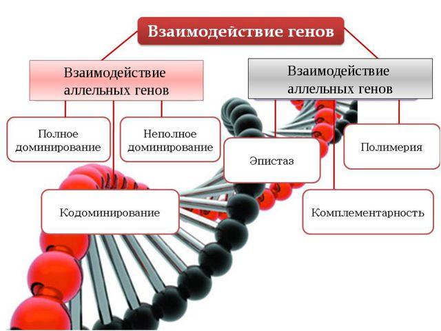 Взаимодействие аллельных генов Взаимодействие аллельных генов