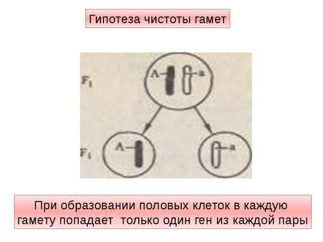 При образовании половых клеток в каждую гамету попадает только один ген из ка...