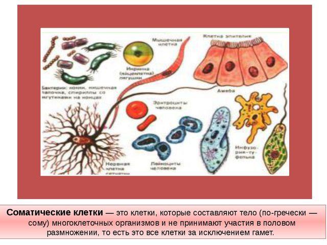 Соматические клетки —это клетки, которые составляют тело (по-гречески — сому...
