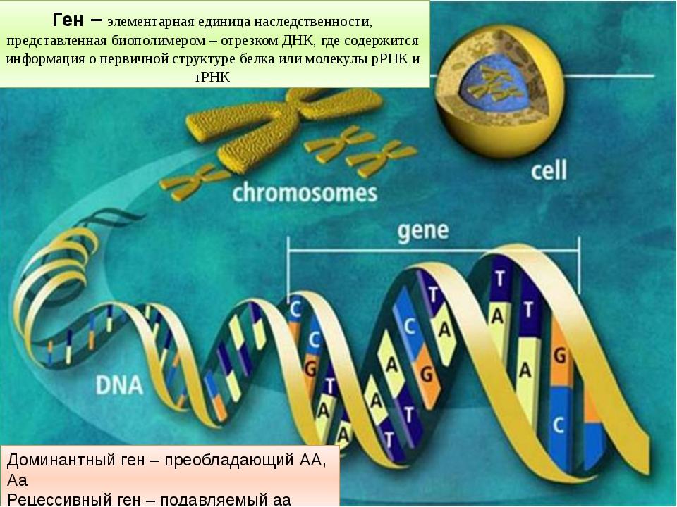 Ген – элементарная единица наследственности, представленная биополимером – от...
