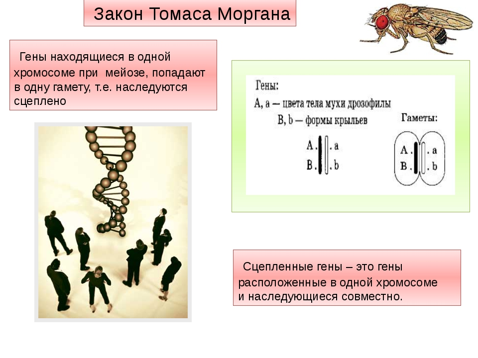 Гены находящиеся в одной хромосоме при мейозе, попадают в одну гамету, т.е....