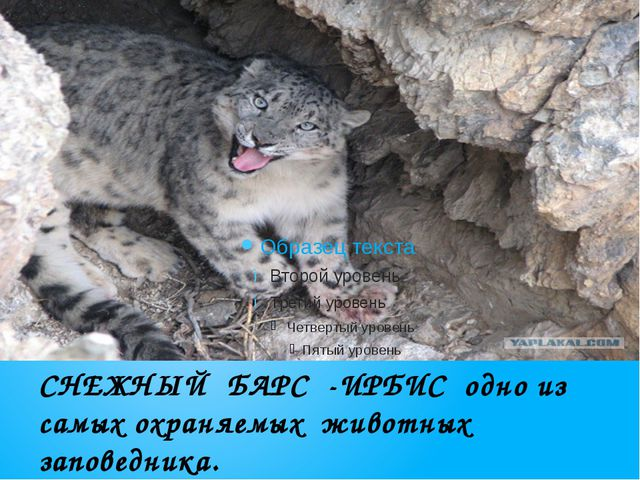 СНЕЖНЫЙ БАРС -ИРБИС одно из самых охраняемых животных заповедника.