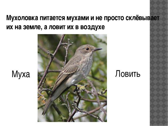 Мухоловка питается мухами и не просто склёвывает их на земле, а ловит их в во...