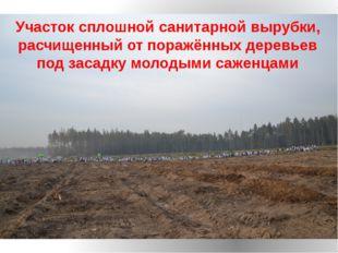 Участок сплошной санитарной вырубки, расчищенный от поражённых деревьев под з