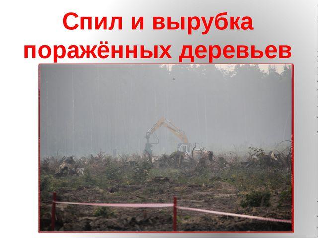 Спил и вырубка поражённых деревьев
