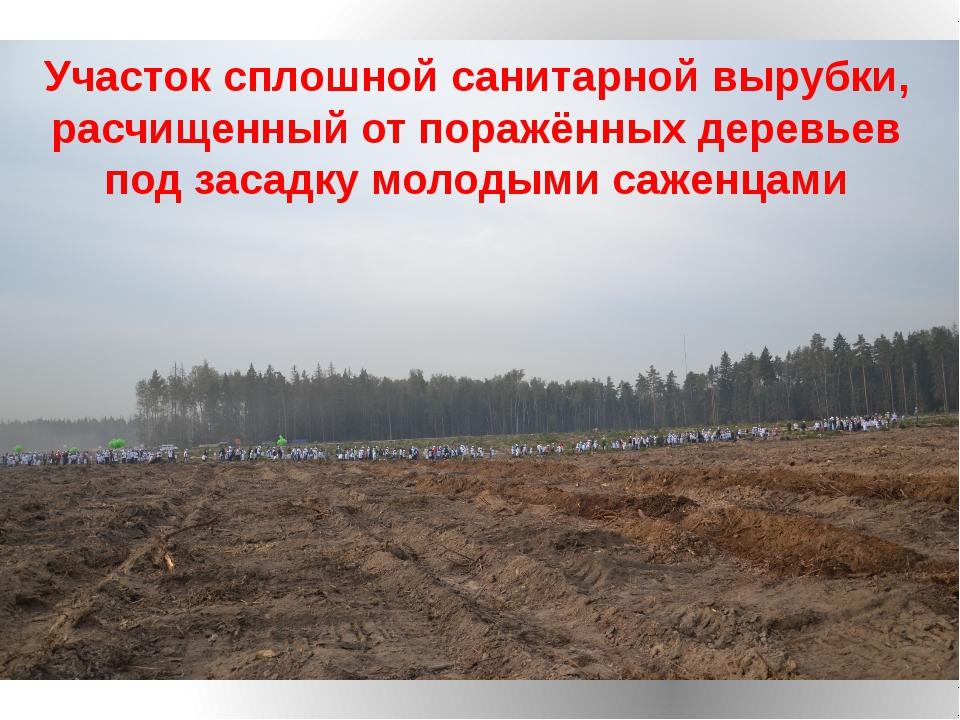 Участок сплошной санитарной вырубки, расчищенный от поражённых деревьев под з...