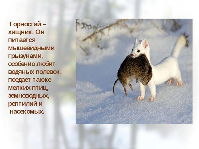 Горностай – хищник. Он питается мышевидными грызунами, особенно любит водяны...