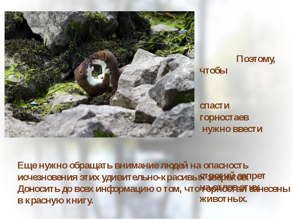 Поэтому, чтобы спасти горностаев нужно ввести строгий запрет на отлов этих ж...