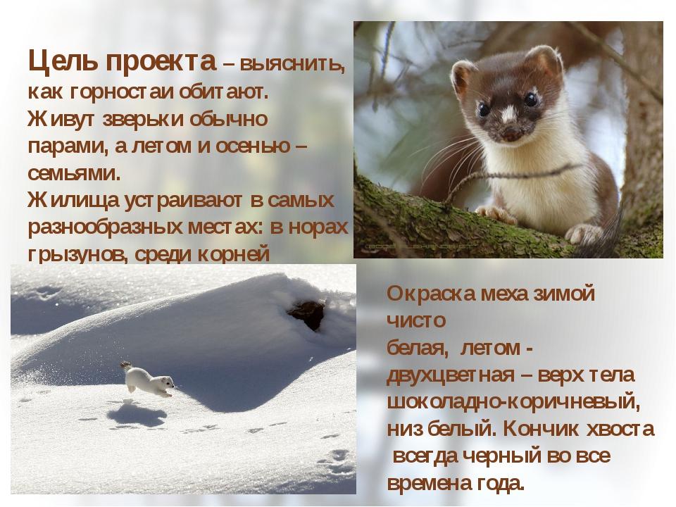 Цель проекта – выяснить, как горностаи обитают. Живут зверьки обычно парами,...