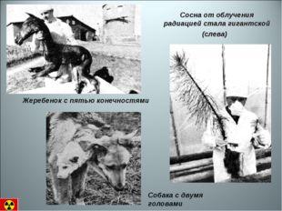 Жеребенок с пятью конечностями Сосна от облучения радиацией стала гигантской