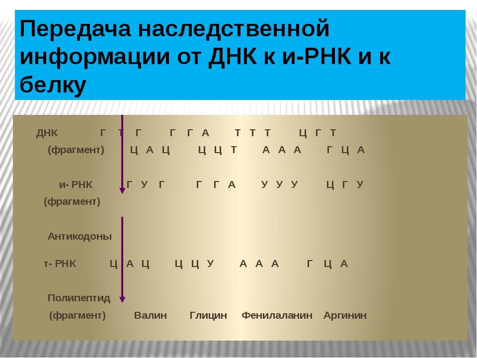 Передача наследственной информации от ДНК к и-РНК и к белку  ДНК Г Т Г Г Г...