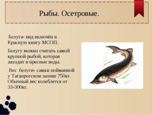 Рыбы. Осетровые. Белуга- вид включён в Красную книгу МСОП. Белугу можно счита