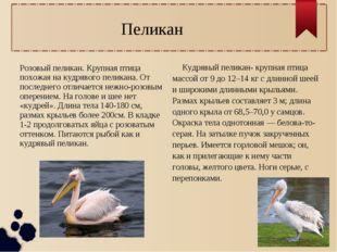 Пеликан Розовый пеликан. Крупная птица похожая на кудрявого пеликана. От посл