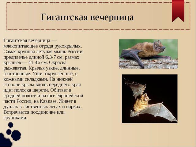 Гигантская вечерница — млекопитающее отряда рукокрылых. Самая крупная летучая...