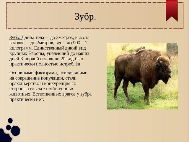 Зубр. Зубр. Длина тела— до 3метров, высота в холке— до 2метров, вес—до 900—1...
