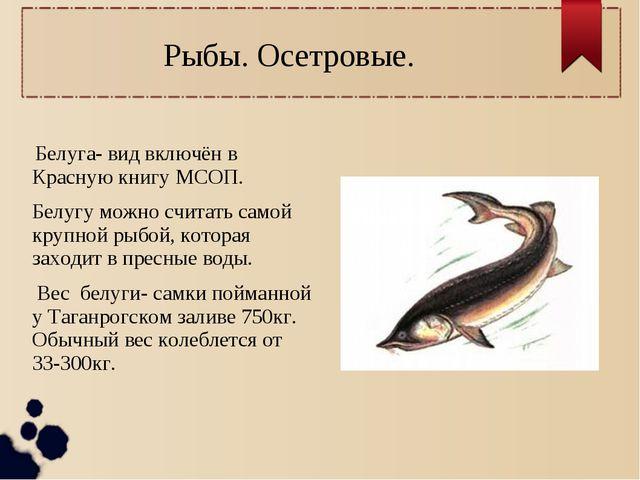 Рыбы. Осетровые. Белуга- вид включён в Красную книгу МСОП. Белугу можно счита...